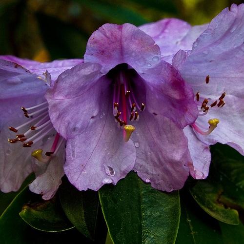 Rhododendron_ririei_SpringUWBG500px