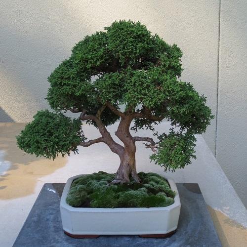 Bonsai01SM500px