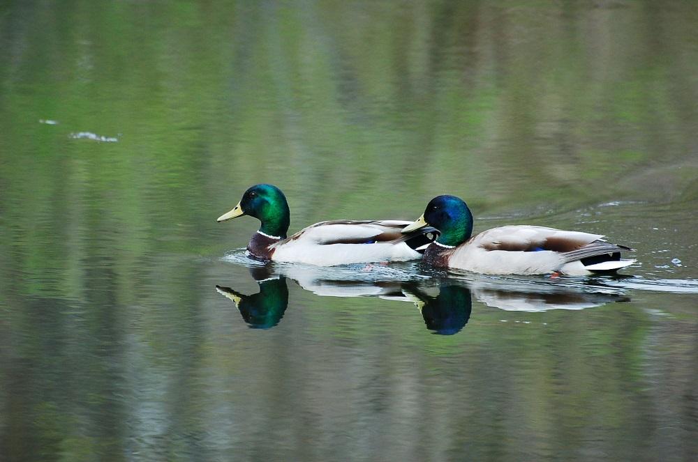 Mallard Ducks (M)