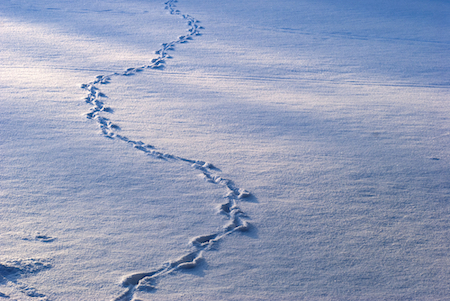 animal-tracks-in-snow_shutterstock_67674577 copy
