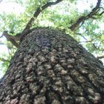 treeIMG_1174-150x150