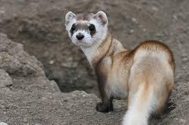 BlackFootedFerret