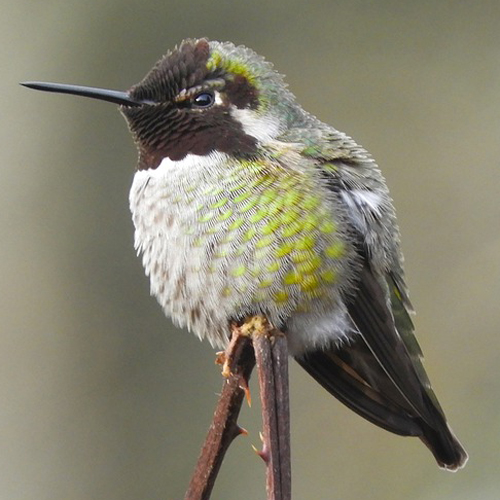 anna-hummingbirdPD500px