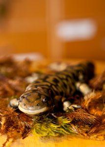 Tiger-Salamander-1-214x300